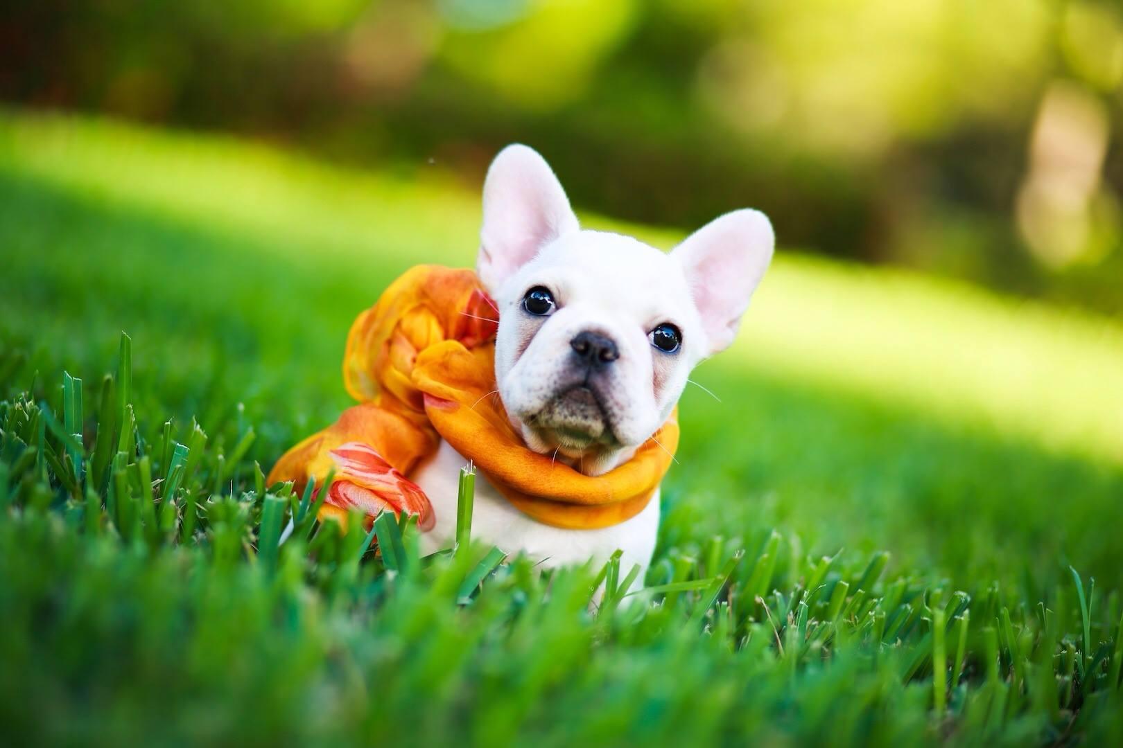 Typical Windridge French Bulldog puppy