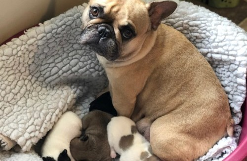 Astrid and her French Bulldog puppies