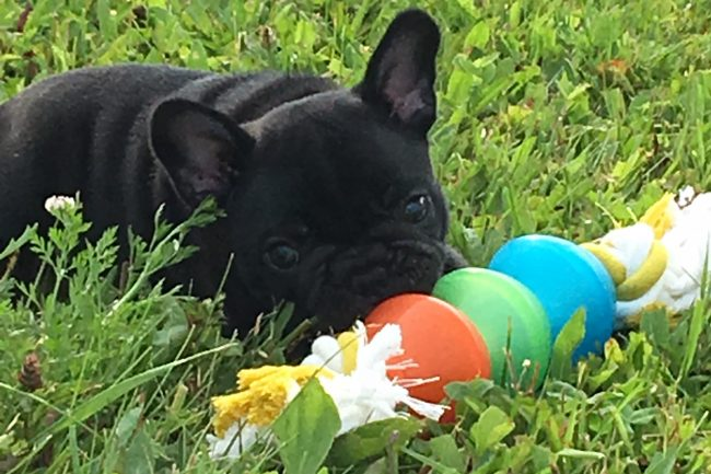 Brindle French Bulldog Puppy